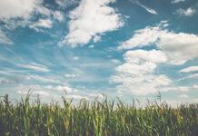 Konieczność stosowania zabiegów herbicydowych żyta zwyczajnego